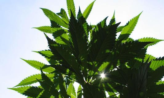 cbd medical cannabis