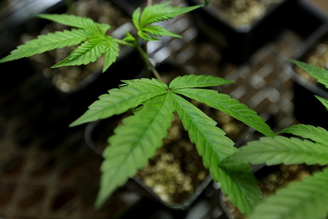 culture cannabis indoor