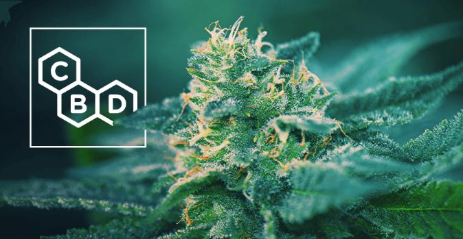 high cbd cannabis seeds canada