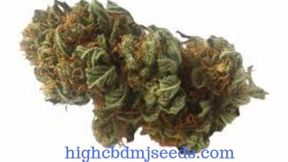 Marijuana Strains for Cancer