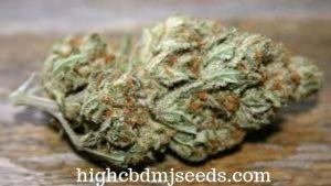 canadian cannabis seed companies
