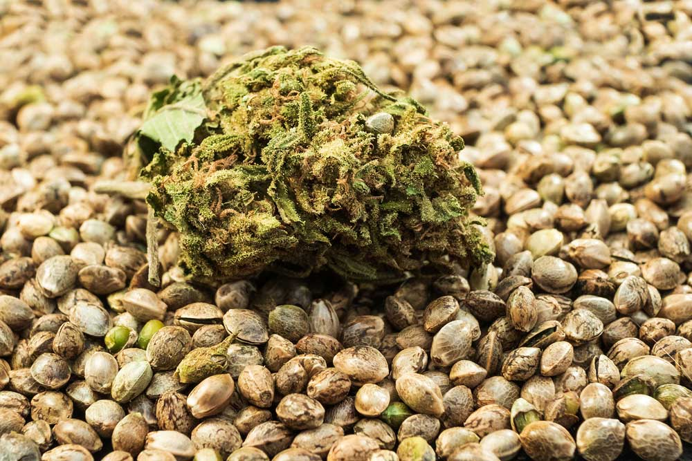 How to Remove Seeds from Marijuana Buds